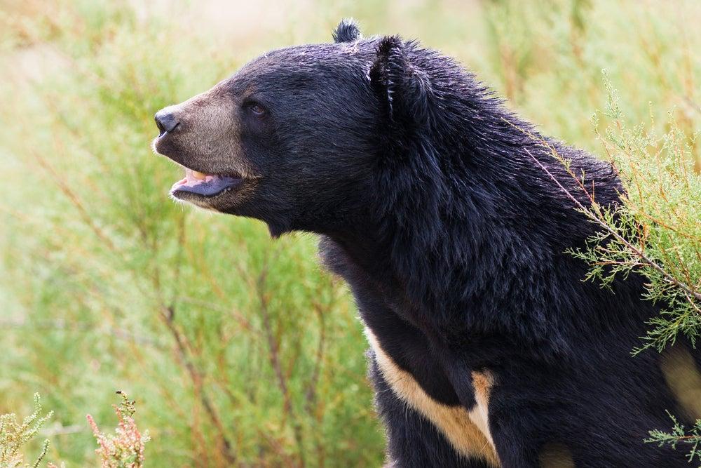 asian black bear roaring