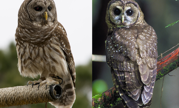 Study Finds Shooting Barred Owls May be The Key to Saving Spotted Owls
