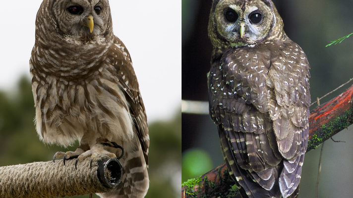 barred owl vs spotted owl side by side.