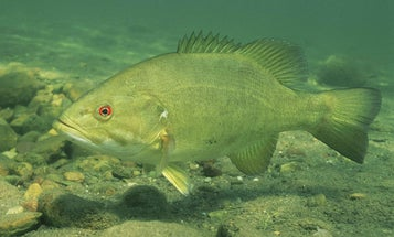 How To Slam River Smallmouths All Summer Long