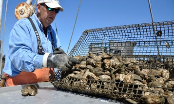 Flesh-Eating Bacteria Levels Surge in Chesapeake Bay Region