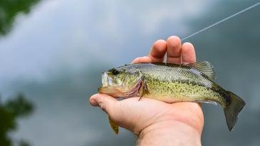 small largemouth bass