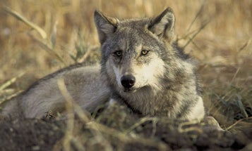 Wisconsin DNR Proposes Quota of 130 Wolves for Fall Hunt, Reigniting Controversy
