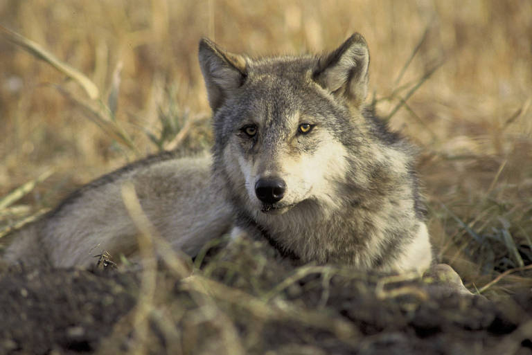 A gray wolf lying down