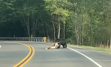 Video: Hungry PA Black Bear Drags Off Road-Killed Whitetail Deer