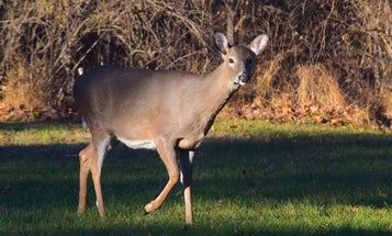COVID-19 Hits Wild Whitetail Population