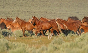 BLM Ramps Up Wild Horse Removals Due to Drought