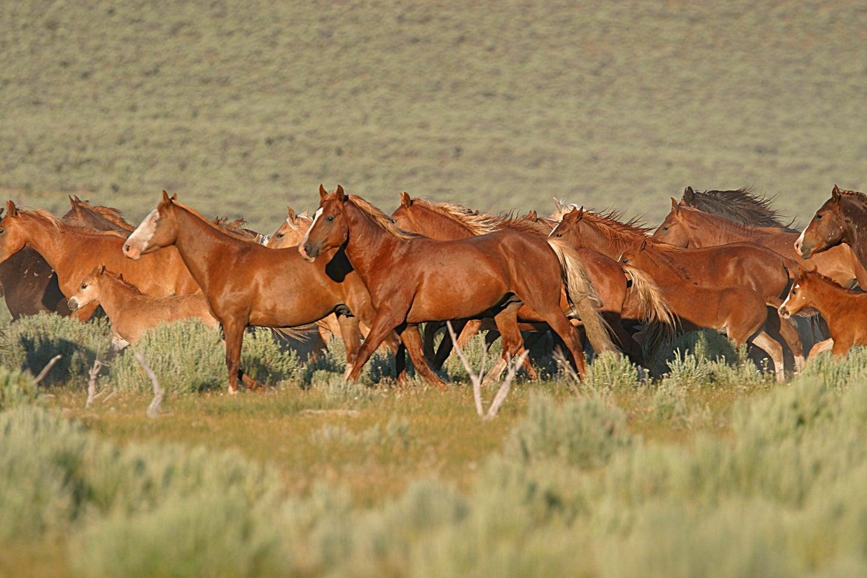 Wild horses running in the desert.