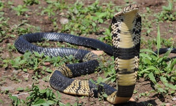 6-Foot Venomous Cobra Is On the Loose in Texas Town