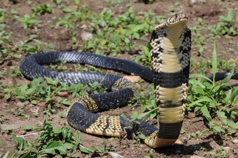 A spotted cobra with a wide hood