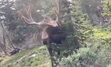 Video: Massive Bull Moose Charges Hiker