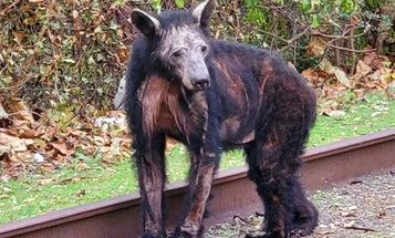 """""""They Just Look…Pathetic."""" Bear Mange Surges in Virginia"""