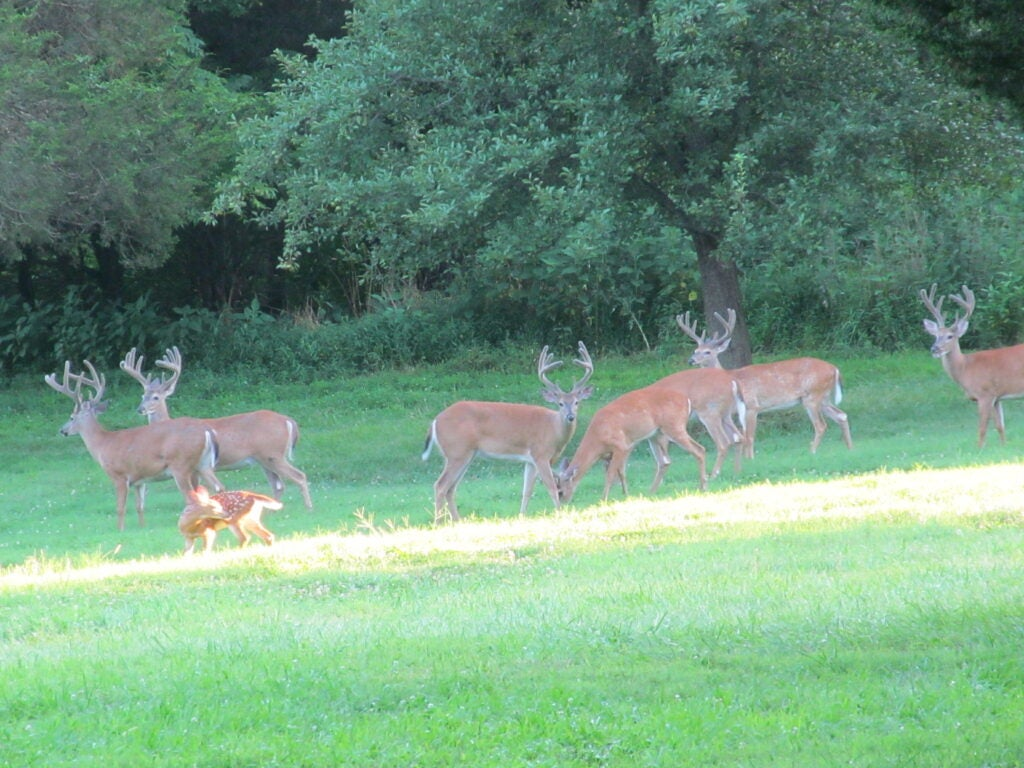 Buck whitetail deer standing in a food plot.