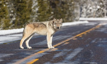 Wisconsin Board Sets 300-Wolf Quota for Fall Hunt, Doubling DNR Recommendation