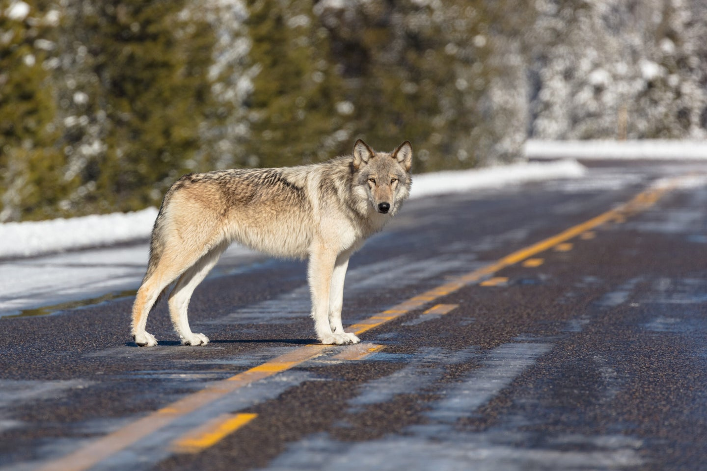 Wolf in the road