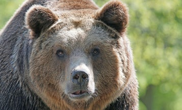 Russian Woman Likely Eaten by Bears, According to Local News Reports