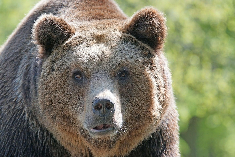 Brown bear looking at camera