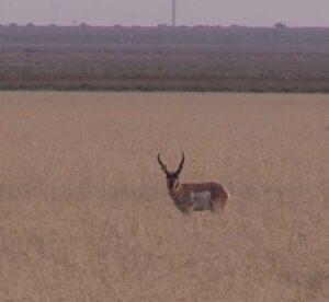 Clay Smith's pronghorn