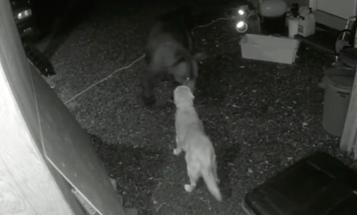 Video: Golden Retriever Backs Down Alaskan Brown Bear