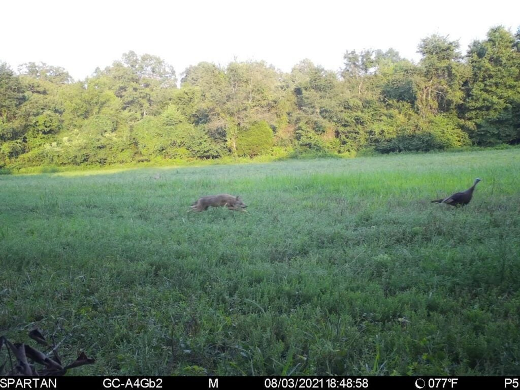 Coyote chasing turkey