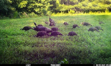 Does Trapping Help Turkey Populations? The Proof Is in the Poults