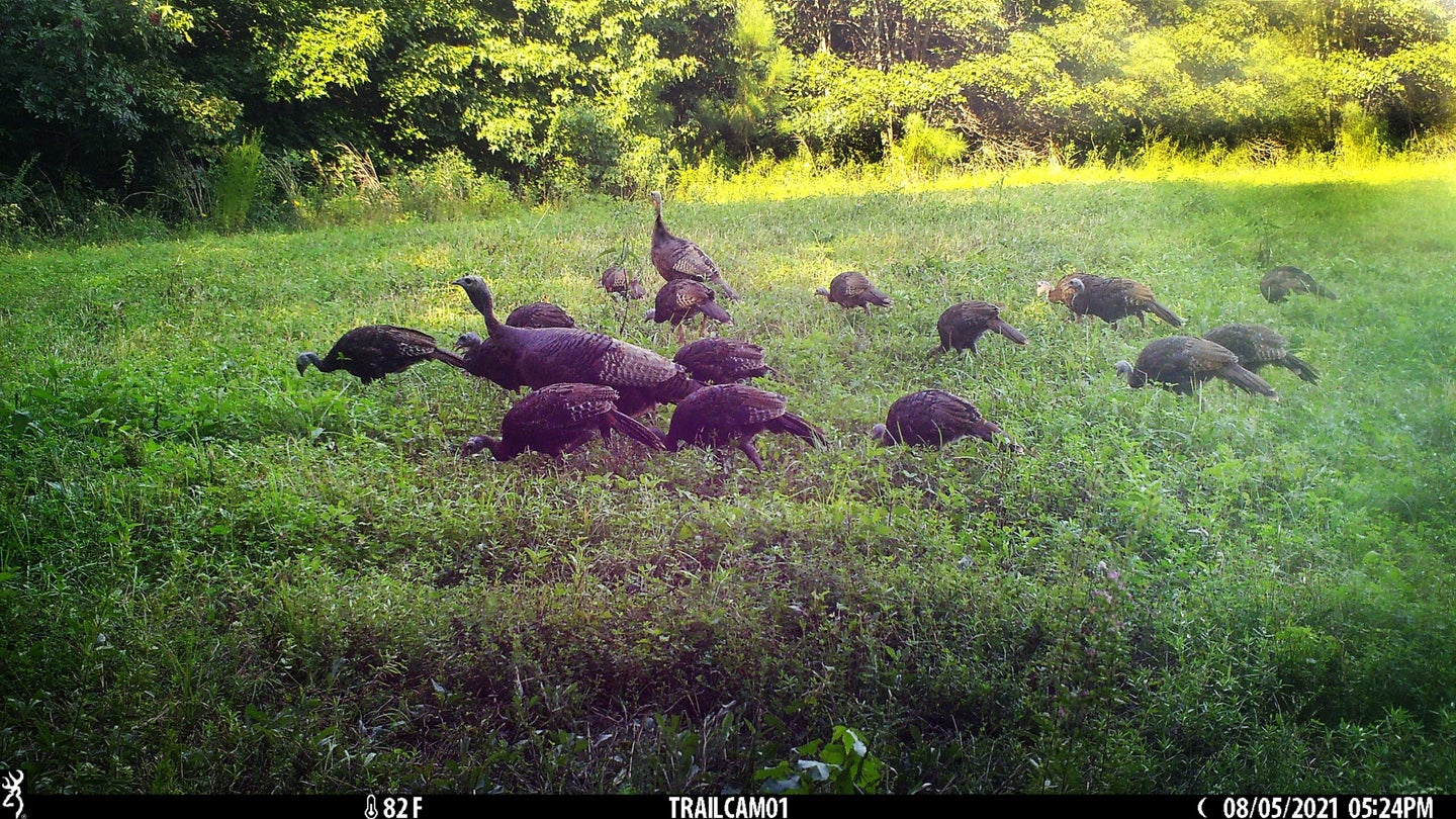 Wild Turkey hens and poults