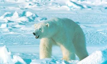 Polar Bear Attacks Three People in Remote Canadian Village