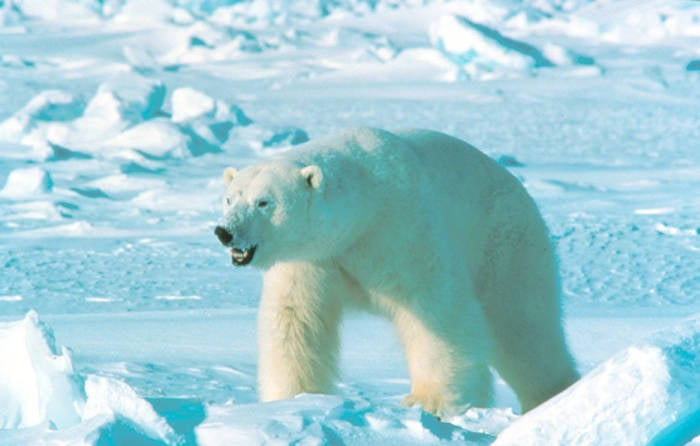 polar bear walks through snowy tundra