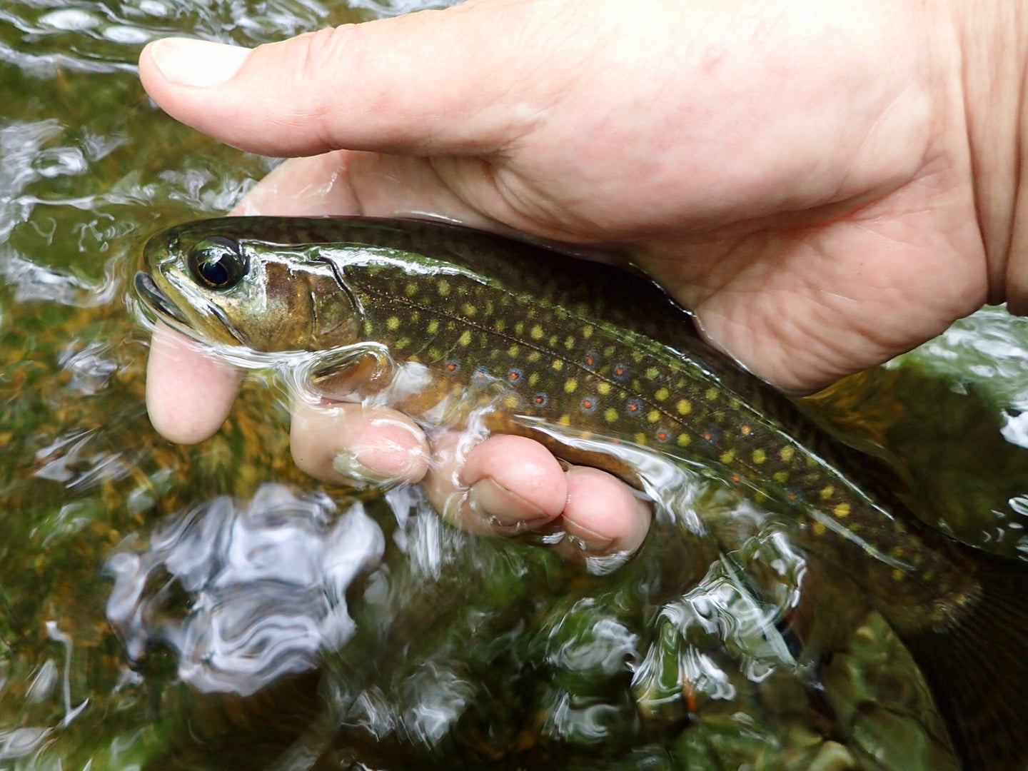 A brook trout being held above the water.