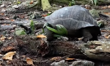 Video: Giant Tortoise Hunts Down Baby Tern, in Agonizingly Slow Motion