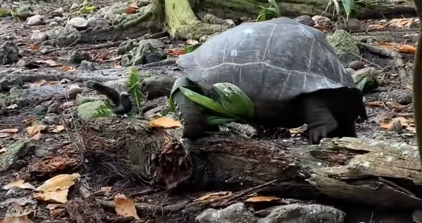 Giant tortoise approaches chick with mouth open