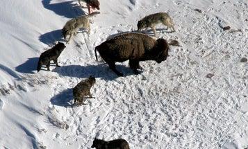 Biden Administration Backs Gray Wolf Delisting, Effectively Greenlighting Fall Hunts