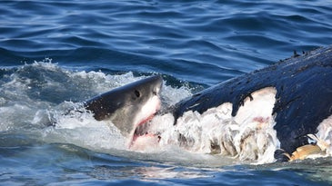great white shark chews on humpback whale blubber
