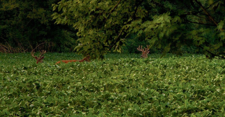 whitetail bucks in food plot