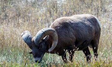 Bluetongue Kills Nearly 10 Percent of Regional Bighorn Sheep Herd in B.C. – So Far