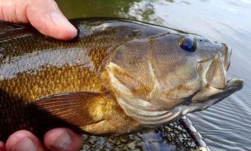 8 Flies Smallmouth Bass Can't Resist
