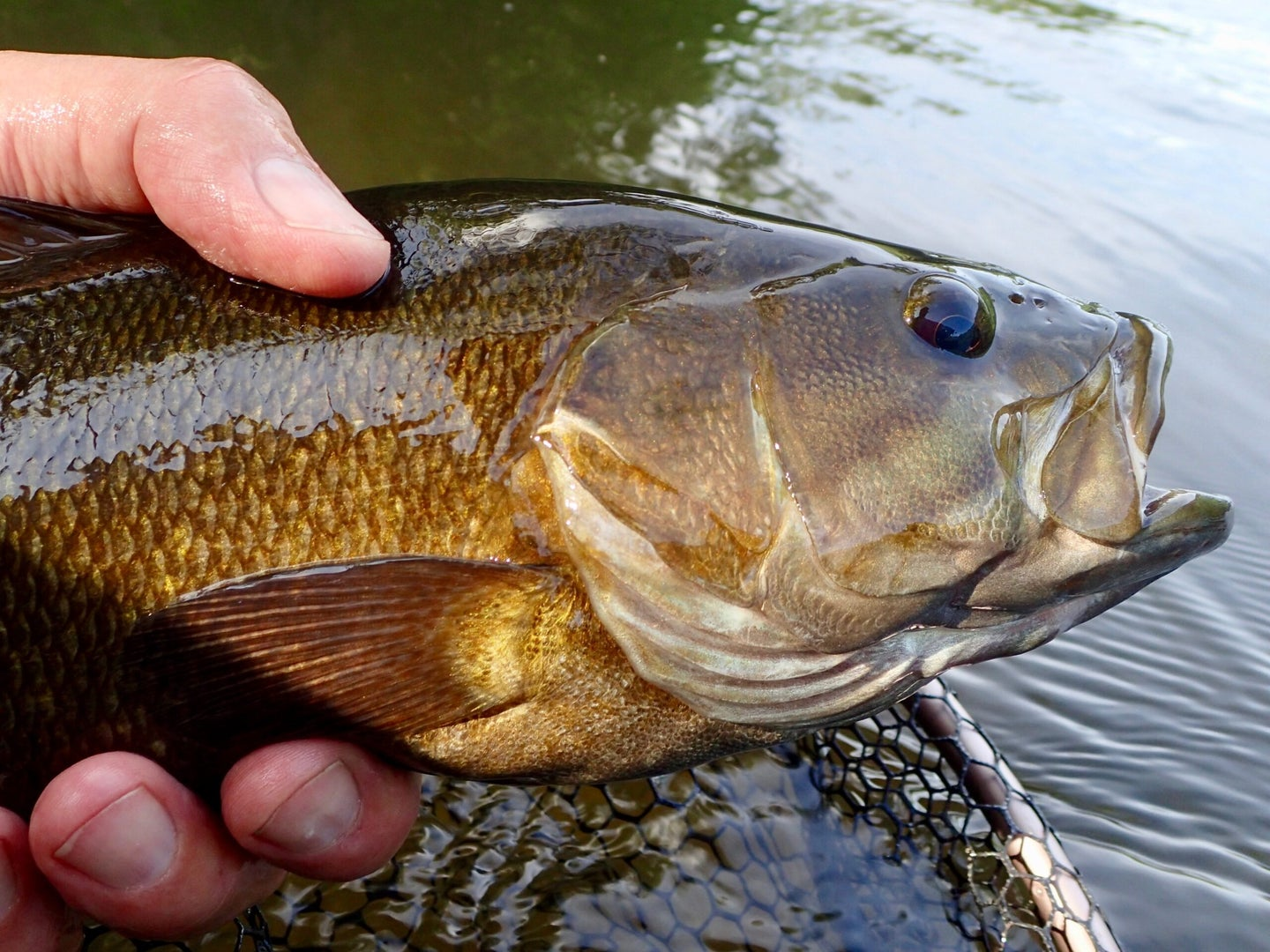 Smallmouth bass in a fisherman's hand next to the water.