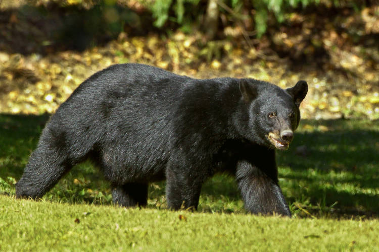 Black bear walks broadside to camera