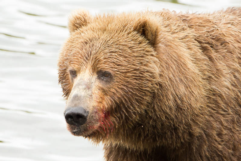 Brown bear with bloody mouth