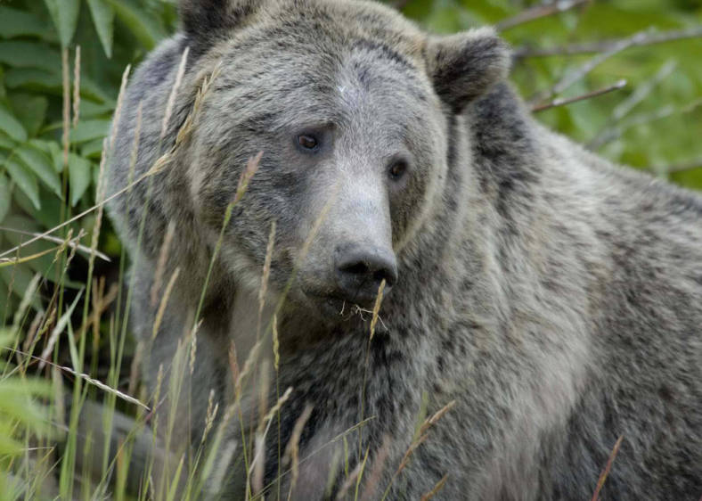 grizzly bear looks to the side