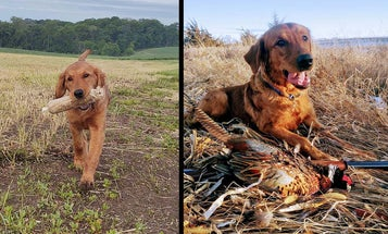 Pup's First Season: 6 Preseason Drills for Prepping a Young Retriever