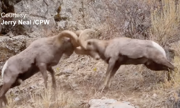 Video: Rocky Mountain Bighorn Sheep Rams Go to Battle