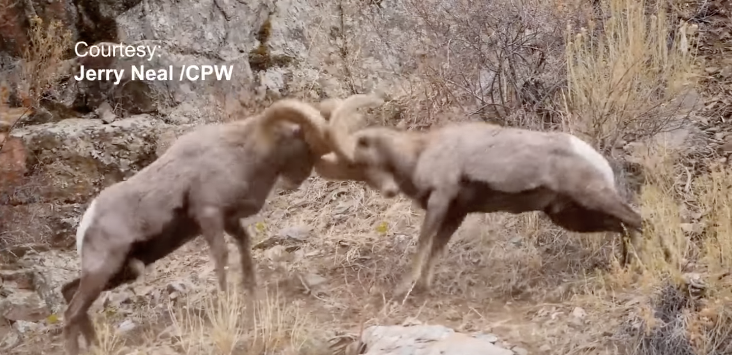 two bighorn sheep rams clash horns together