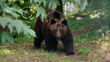 Big grizzly bear walking through the woods.