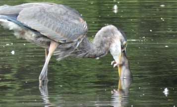 Video: Great Blue Heron Gulps Down a Giant Rat in NYC