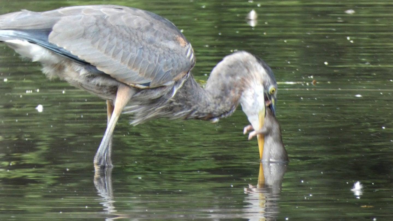 Great blue heron holds rat in beak