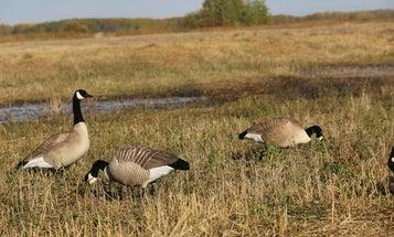 Minimalist Decoy Strategies for Canada Geese