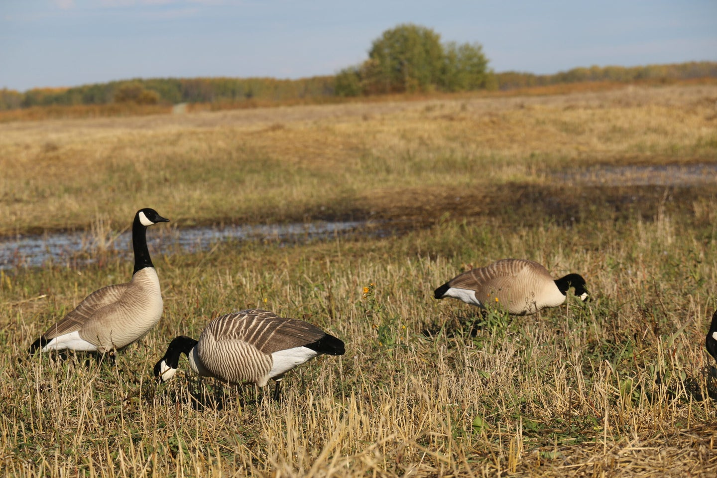 canada geese decoys in a field