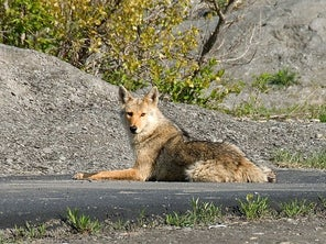 45 Coyote Attacks at Vancouver Park Prompts Major Government Culling Effort