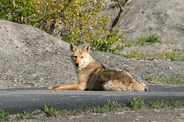 coyote sitting on pavement